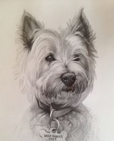 Westie drawing, west highland terrier sketch, dog art www.hayleymorganart.webs.com based in Oxford England.