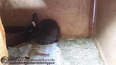Kaninchenfan Lucky - Mein Kaninchenloch: While Snow and Bella play outside, Lucky is playing inside, he has an mission: Building an nest with an phonebook ^_~  #rabbits #kaninchen #zwergkaninchen #hasen #lapin #hare #usagi   http://kaninchenfanlucky-meinkaninchenloch.blogspot.de/2014/07/while-snow-and-bella-play-outside.html
