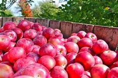 We used to pick bushels and bushels of apples for Apple sauce, apple butter, pies, chutneys, apple brown betty and apple crisp! Man do these look good! Apple Brown Betty, Chef Paul, Apple Harvest, Apple Butter, Apple Crisp, Fruit, Apple Sauce, Chutneys, Chutney