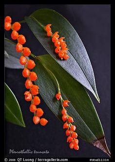 Miniature-orchid / Micro-orquidea: Pleurothallis truncata