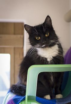 One of the great cats awaiting rehoming at Wood Green Charity Cambs. England