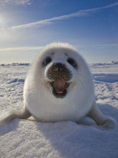 Harp Seal Pup on Ice, Iles De La Madeleine, Canada, Quebec