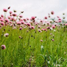 Pink paper daisy flowers by Jacqueline Miller