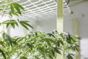 """Department of Justice report says Cannabis Act an """"ongoing source of uncertainty"""""""