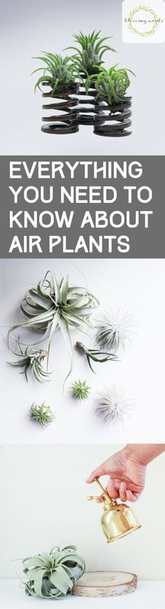 Container Gardening For Beginners Everything You Need to Know About Air Plants - Bless My Weeds Succulent Care, Succulent Terrarium, Terrariums, Terrarium Wedding, Indoor Vegetable Gardening, Container Gardening, Planting Vegetables, Gardening For Beginners, Gardening Tips