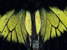 Butterflies:  Moth Wings  Photograph by Mattias Klum    A moth's wings appear iridescent when photographed close-up in the Danum Valley Conservation Area in Sabah, Malaysia.