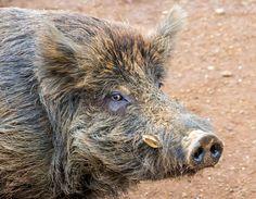 Hawaiian wild pig!