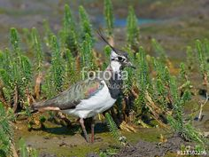 This photo was sold today @fotolia/@Adobe #Northern #lapwing (Vanellus vanellus) #Bird #Animal https://eu.fotolia.com/id/113562296