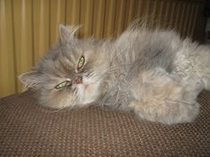 Betsie our Persian cat.