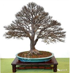 Taiwanese Bonsai are just stunning! Especially the fine ramification strikes me... #bonsai