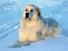 GREAT PRYNESS DOG PHOTO   Great Pyrenees - Dogs - Patou