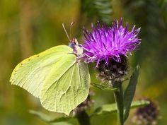 Stunning Brimstone Butterfly on Knapweed