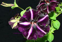 tarhapetunia