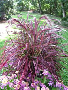 Fireworks Fountain Grass - Colorful, upright growing grass with variegated stripes of white, green, burgundy and hot pink running the length of the blade.