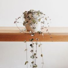 """How to choose the perfect plant for your home interior: Chain of Hearts """"The Ceropegia Woodii with it's small, fleshy, heart shaped leaves is a delicate…"""