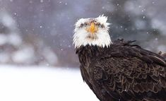 A sub-adult bald eagle pauses while feeding on a deer carcass in central #NewYork state. The falling #snow and that powerful unforgettable stare of the eagle made for an incomparable combination on a cold February morning. #MyCanonStory  Photo Credit: @kdudgeon.photo Camera: #Canon EOS 60D Lens: Canon EF 400mm f/5.6L USM Aperture: f/6.3 ISO: 500 Shutter Speed: 1/1250 sec Focal Length: 400mm  via Canon on Instagram - #photographer #photography #photo #instapic #instagram #photofreak…