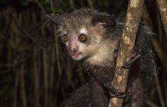 L'aye-aye Décrit pour la première fois en 1782  Ce petit lémurien qui ressemble à un croisement entre la chauve-souris et le Gremlin habite l'île de Madagascar et est menacé d'extinction. Le petit mammifère pesant quatre livres peut vivre jusqu'à 20 ans et passe sa vie à la cime des arbres, évitant le plus possible la terre ferme.