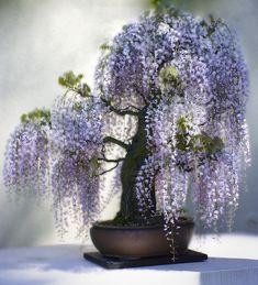 JPB:Bonsai Collection5   Wisteria ~ Tree 154 by Photo Munki, via Flickr