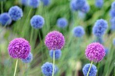 Allium Giganteum Stock Photo - 539337