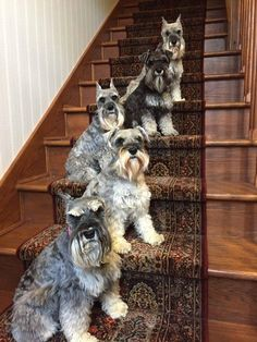Ranked as one of the most popular dog breeds in the world, the Miniature Schnauzer is a cute little square faced furry coat. Schnauzer Mix, Schnauzers, Giant Schnauzer, Baby Dogs, Dogs And Puppies, I Love Dogs, Cute Dogs, Miniature Schnauzer Black, Most Popular Dog Breeds