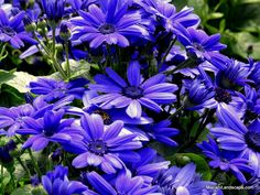 Senetti® Super Blue, one of four cultivars of Senetti®, featured at In the Garden with Mariani Landscape.