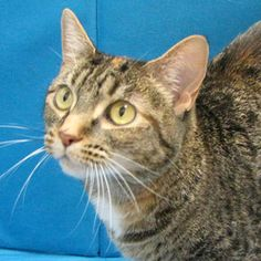 Tina is an adoptable Tabby Cat in Springfield, IL.  ...