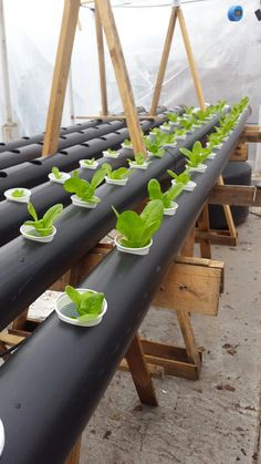 Aquaponics System Usa - Everything you should know about Aquaponics Made Easy, Home Aquaponics, Backyard Aquaponics and Ecofriendly Aquaponics. Aquaponics System, Hydroponic Farming, Backyard Aquaponics, Hydroponic Growing, Aquaponics Fish, Growing Plants, Vertical Farming, Urban Farming, Water Plants