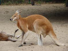 Kangourou du zoo de La Palmyre | Pays Royannais Charente-Maritime Tourisme #charentemaritime | #zoo | #LaPalmyre | #animaux