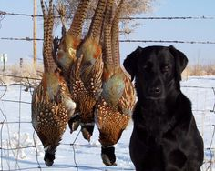Private Leased Land Self Guided Hunting in KS, MO, and IA - Mid-America Hunting Association Pheasant Hunting, Duck Hunting, Hunting Dogs, Hunting Stuff, Waterfowl Hunting, Outdoor Dog, Working Dogs, The Great Outdoors, Wildlife