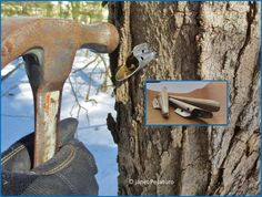 How to tap a sugar maple- make our own maple syrup?