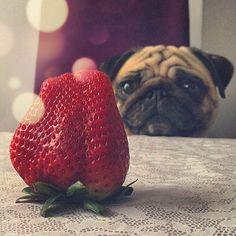 Enjoy the Little Things#pug#pugs#mops#pet#dog #pugsofinstagram#pugworld#puglove#puglife#pugnation#carlin#мопсы#carlino#мопс#dogoftheday#fawnpug#パグ #squishyface#speakpug#instapug #instadog#mopsi#pugpuppy#狗#собака#puppies#videopug#pugstagram#puppy#lovemypug