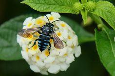 https://flic.kr/p/RGngxG | 藍蜜蜂 | 波琉璃紋花蜂