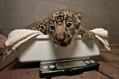 This jaguar being weighed. | This Year's 45 Most Lovable Baby AnimalPictures