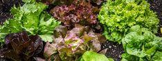 Barangolás a saláták világában - Szupermenta Outdoor Plants, Air Plants, Garden Plants, Pieris Japonica, Hummingbird Flowers, Plant Guide, House Plant Care, Mother Plant, Evergreen Shrubs