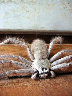 Huntsman Spider by Blue Sharpie, via Flickr