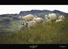 Norwegian Goat, Norway