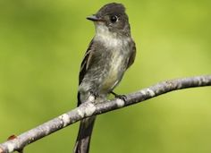 Eastern Wood-Pewee, Identification, All About Birds - Cornell Lab of Ornithology