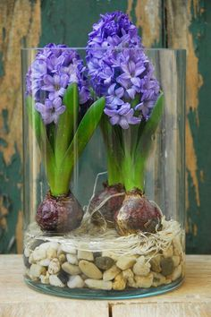 Through the looking glass: For a distinctive look, force bulbs in tall glass containers. Don't assume the bulbs should be in the pot and the blooms should reach all the way outside it.: