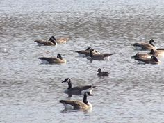 I didn't even notice the duck in the middle of this group until I took a look at the photo a couple minutes ago.