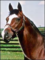 Nureyev, son of Northern Dancer, half-brother to Fairy Bridge, the dam of Sadler's Wells. Champion miler. Leading stallion. At 10, he suffered an injury to his hind leg that had a survival rate of 10% but was strong-spirited and well-natured enough to survive surgery and recover. He returned to stallion duties and lived for 14 more years.