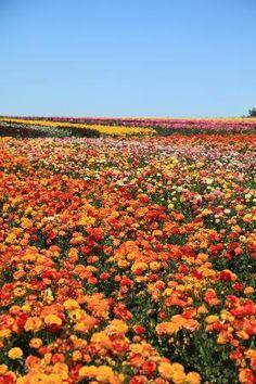 Flower fields of Carlsbad, San Diego, California
