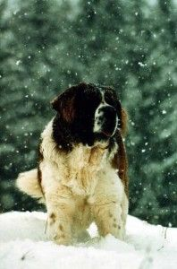 Known as a classic example of a Gentle Giant, the Saint Bernard is calm, patient. Big Dogs, Large Dogs, Cute Dogs, Dogs And Puppies, Corgi Puppies, Doggies, Chien Saint Bernard, St Bernard Puppy, Gentle Giant