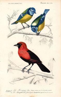 1849 Eurasian Blue Tit Tanager Antique Bird by AntiquePrintGallery