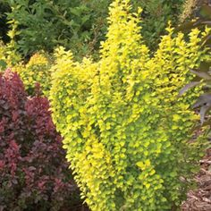 Sunjoy® Gold Pillar - Barberry - Berberis thunbergii >> possible accent in front of pillars?  1.5'-2' wide and 3'-4' tall; part to full sun; low maintenance; zone 4-7; upright habit; foliage interest; fall interest; deer resistant.