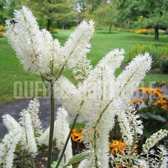 image de Actaea sp. (Cimicifuga sp.)