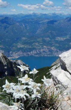 LEONTOPODIUM ALPINUM (Stella alpina. Edelweiß. Étoile des Alpes. Planika. Edelweiss). Asteraceae