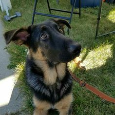 Norman, the gsd, hanging out at our booth at the Kenosha Harbor Market! German Shepherds, Hanging Out, Norman, Dogs, Animals, Animales, Animaux, Sheep Dogs, Pet Dogs