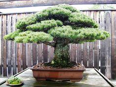 This 390 Year-old Bonsai Tree Survived Hiroshima