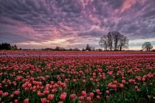 30 things to do in March in the Mid-Wilamette Valley. Photo by Michael Burkhardt Wooden Shoe Tulip Farm ~ Woodburn, Oregon