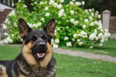 This post will show you why your German Shepherd grumbles and how to get it to stop. German Shepherd Barking, German Shepherd Facts, Female German Shepherd, German Shepherd Training, German Shepherds, Golden Retriever Labrador, Loyal Dogs, Bull Terrier